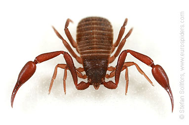 pseudoscorpion_0258
